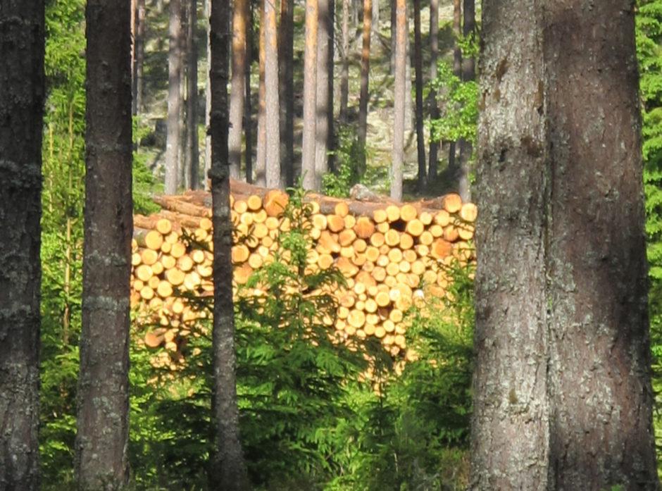 Skjøttet furuskog med kvalitetstømmer. Her vil man få en høy sagtømmerandel, som brukes til å erstatte klimabelastende matrialer samtidig som opptatt karbon lagres. Foto:  Hans Asbjørn K. Sørlie