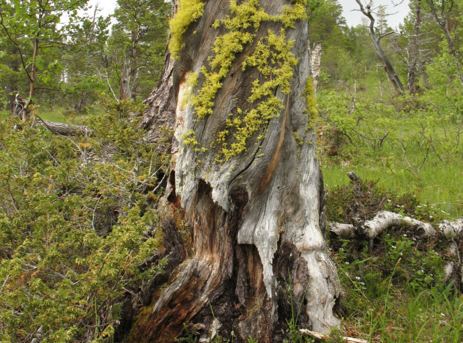 Ulvelav (Letharia vulpina) er en rødlistet  art som blant annet lever på gammel furugadd. I følge Rødlista har skogbrukets oppmerksomhet på denne arten bidratt til at dens rødlistestatus har blitt forbedret fra 2010 til 2015.