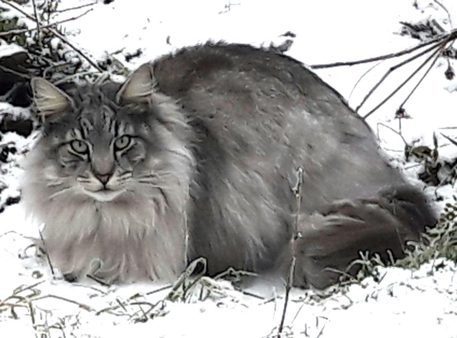 Mange er glade i sin familiekatt, men som art er katten innført til landet, og mange lever vilt.