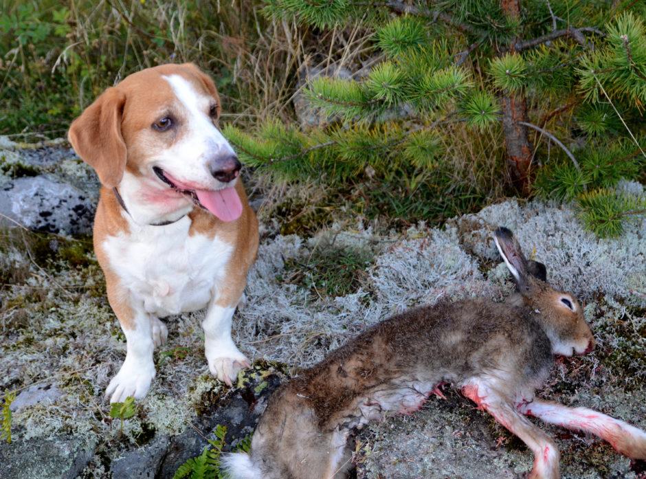 I tider med mye smågnagere må en unngå kontakt med syke eller døde harer og smågnagere. Jakthunden bør man også holde avstand til om den har kost seg med en nyfelt hare.
