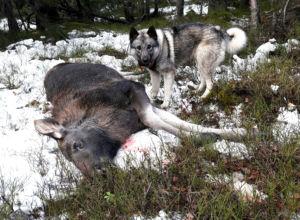 Nok elg, for lite elg, eller for mye elg?