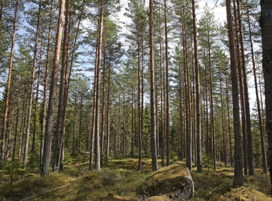 Det er mest skog i Trysil, men det hogges mest tømmer i Elverum. Det viser nye tall fra SSB.