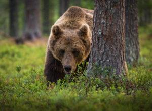 Status for rovdyrene i Norge
