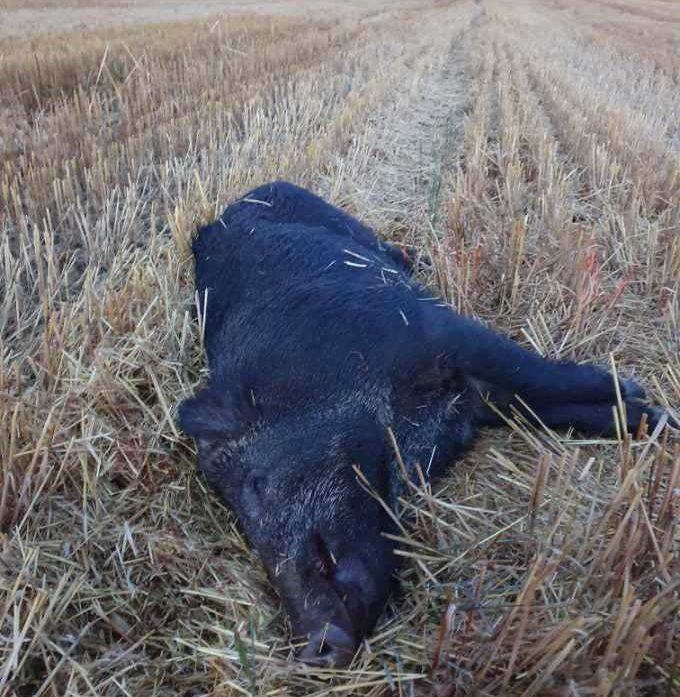 Dette villsvinet er felt av Henrik Bjerkvik. Han var den første jegeren som skjøt villsvin i Våler kommune. Foto: Privat