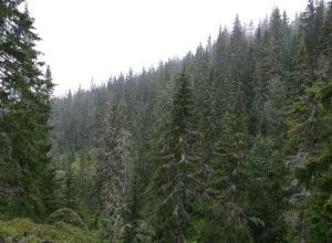 Høy karbonbinding i fleraldret gammelskog