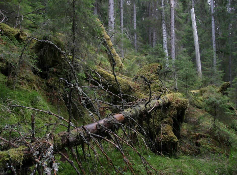 Død ved i skog. Foto: John Yngvar Larsson, NIBIO